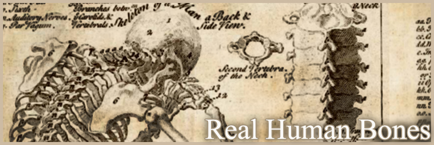 Real Human Bones for Sale - The Bone Room