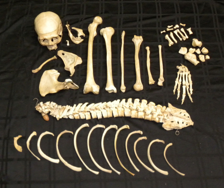 real human skeletons for sale - the bone room, Skeleton