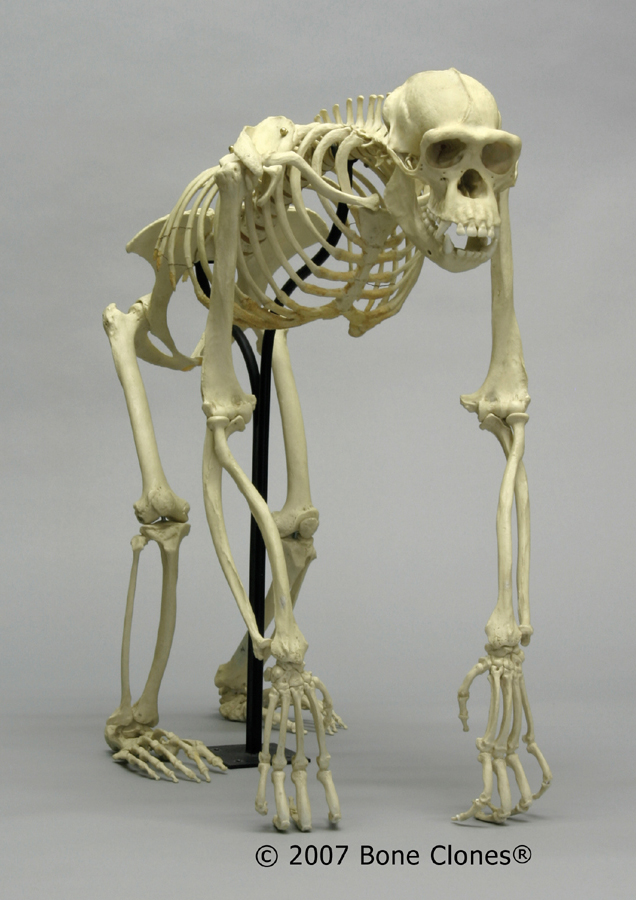 Museum Quality Primate Skull & Skeleton Casts