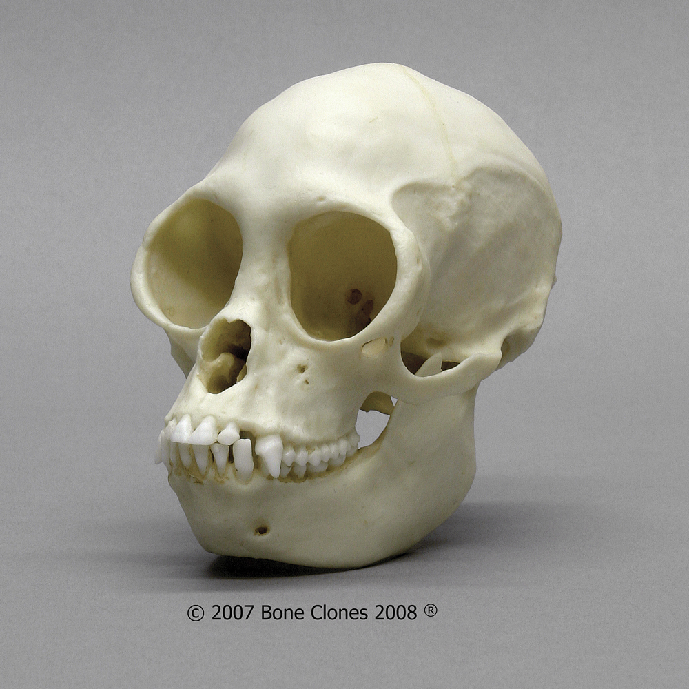 Bone Clones Black Spider Monkey Skull