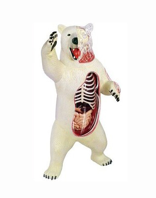 Polar Bear Anatomy Model