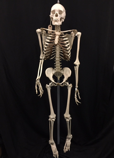 real articulated human skeleton for sale - the bone room, Human Body