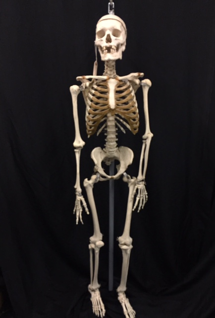 male skeleton #8, Skeleton