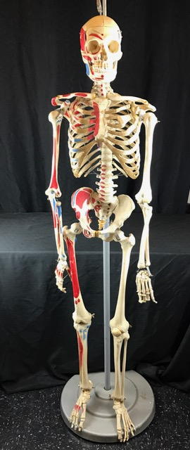 Real Articulated Human Skeleton for Sale - The Bone Room
