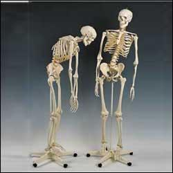 first quality human skeleton cast with flexible spine, Skeleton