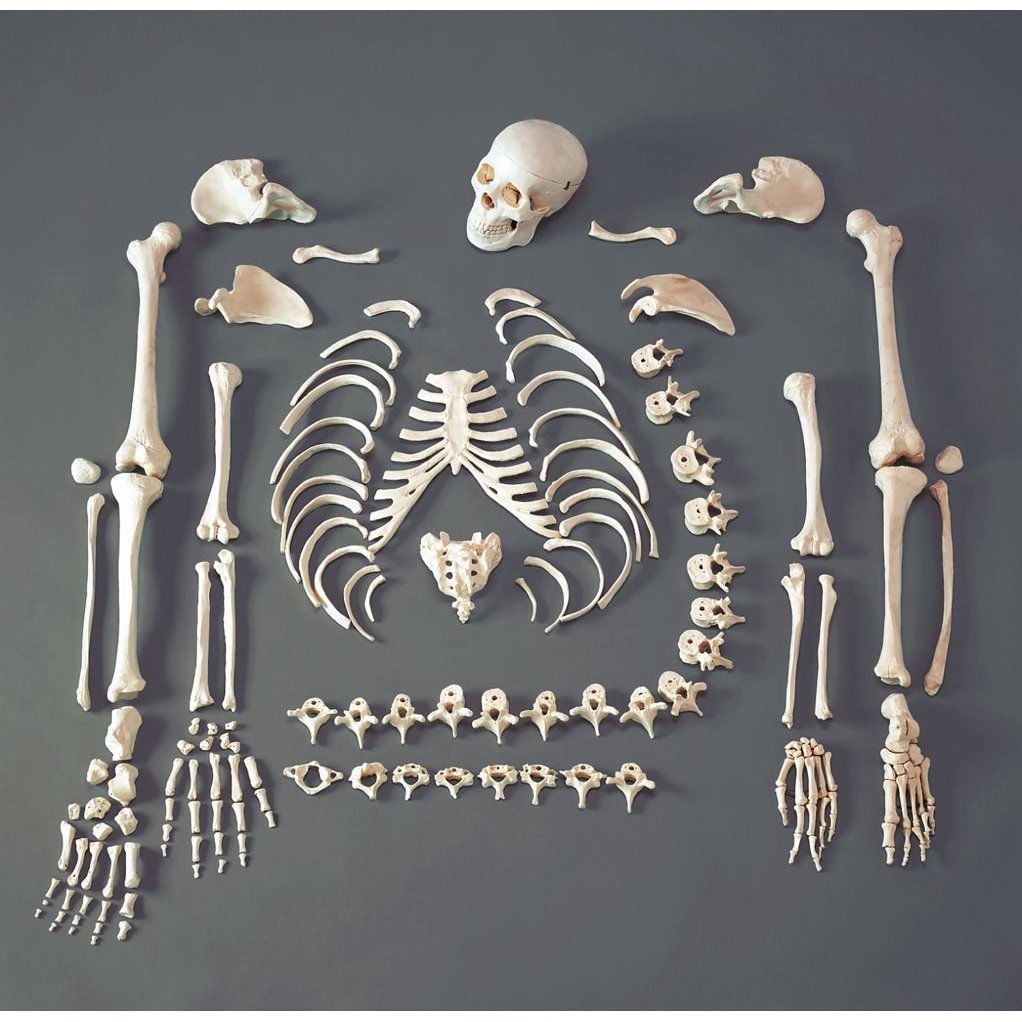 disarticulated human skeleton cast, Skeleton