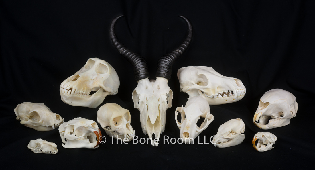 Real Animal Skulls For Sale The Bone Room