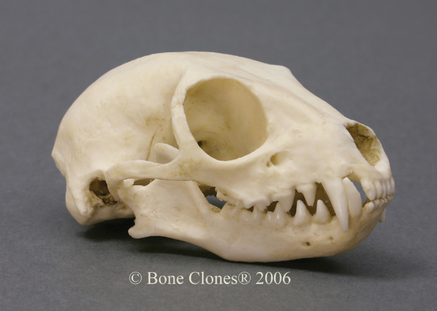 Museum Quality Miscellaneous Animal Skull & Skeleton Casts