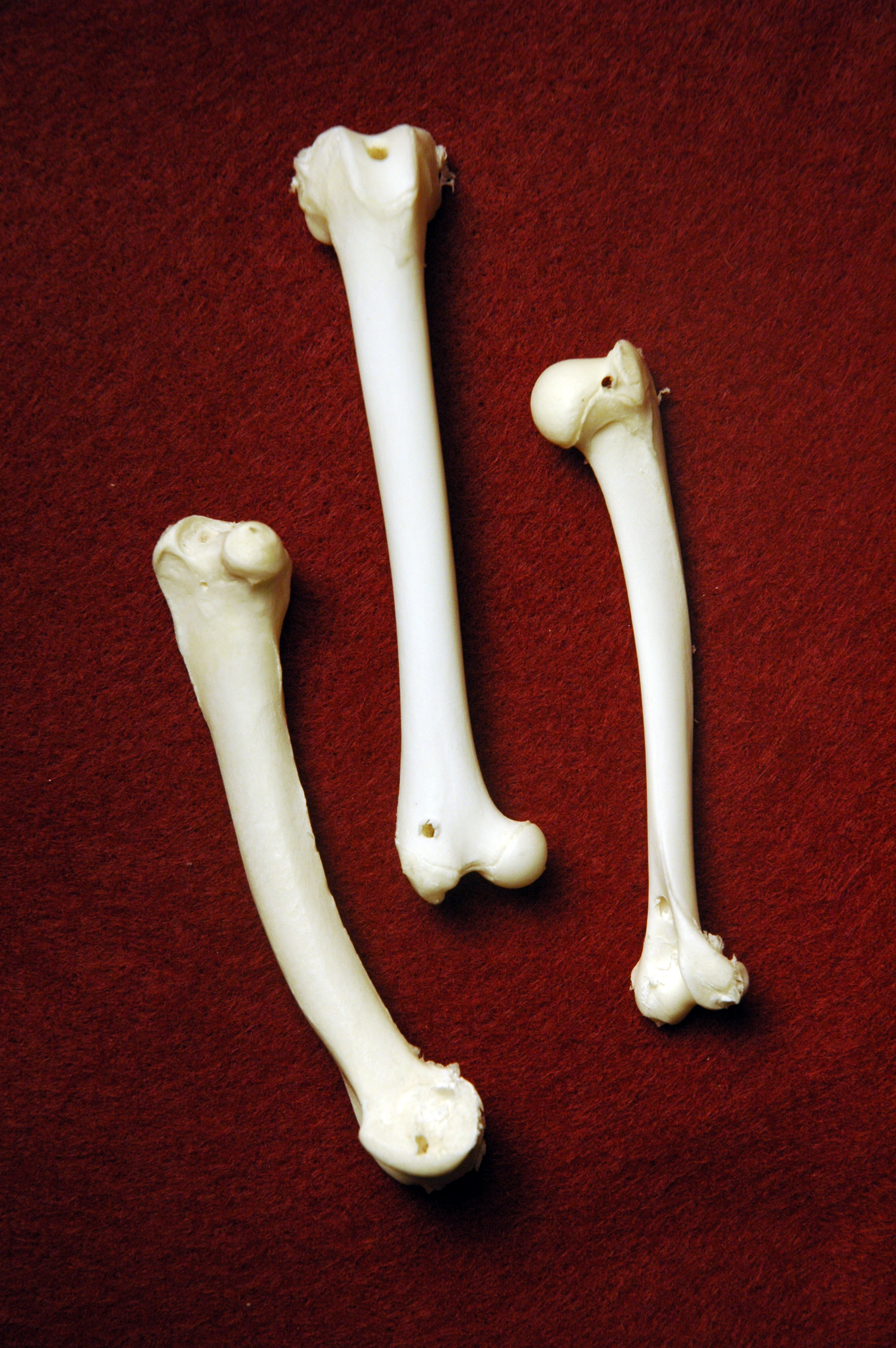 Domestic Cat Bones